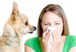 Pet allergies, Dog allergy dander