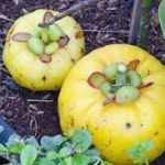 Garcinia cambogia Fruit allergy